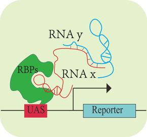 RNA杂交系统