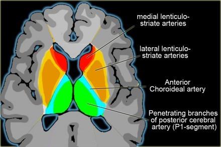 大脑willis环手绘图