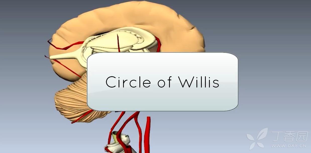 最详细的大脑 willis 环(3d 动画)讲解
