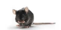 HBV 转基因小鼠