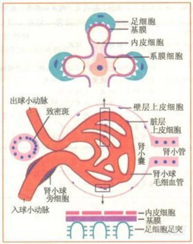 肾小球结构,有这 4 张模式图就够了