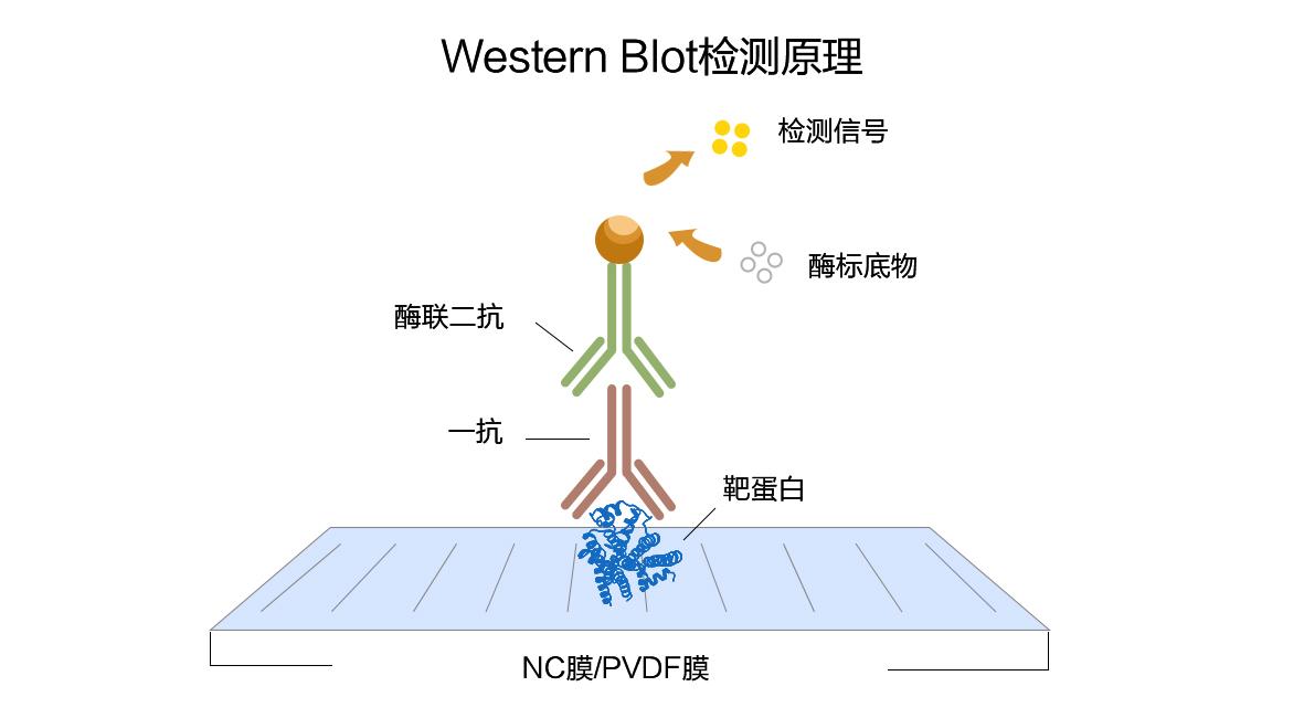 分子克隆实验标准步骤