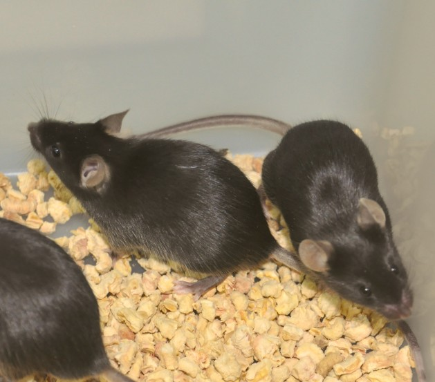 CRISPR/Cas9基因敲除小鼠