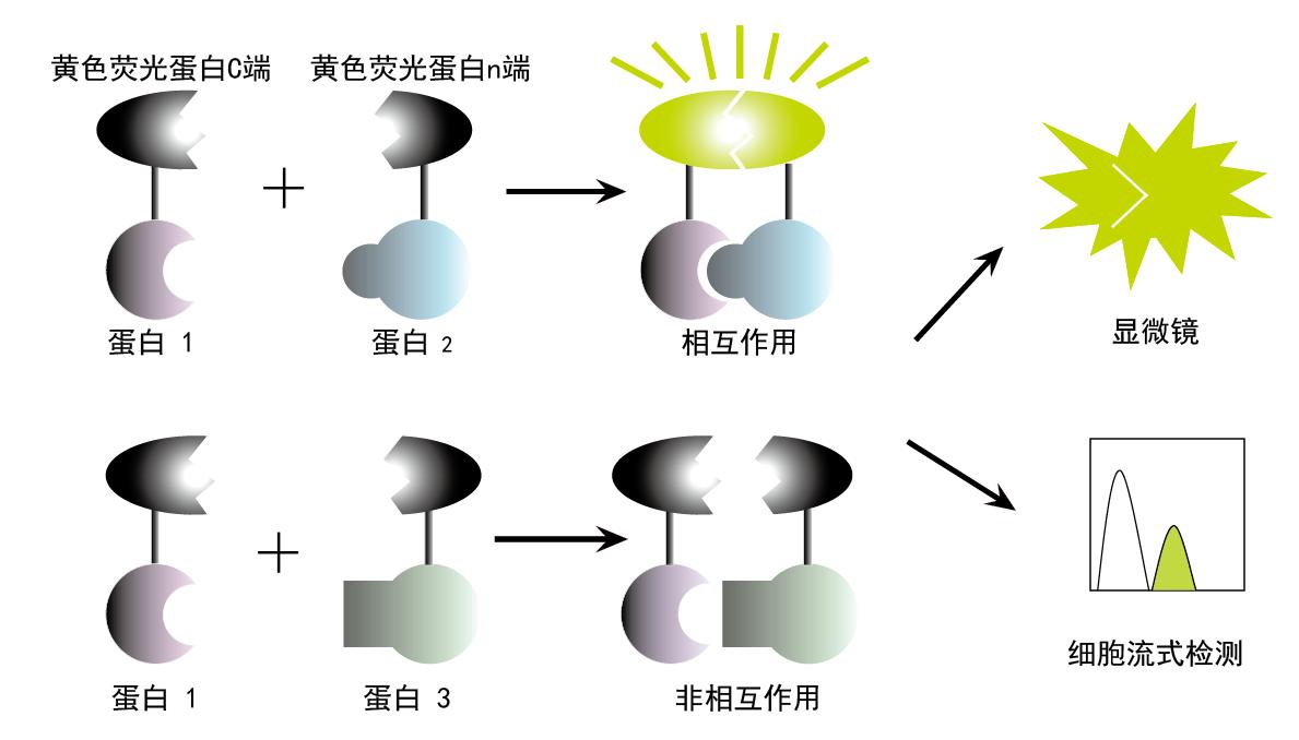 蛋白互作高通量筛选