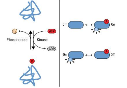 磷酸化修饰蛋白质组学