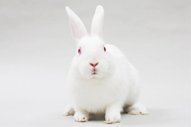 实验动物——新西兰兔