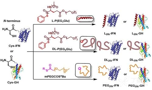 携带不同二级结构高分子的蛋白质偶联物的合成