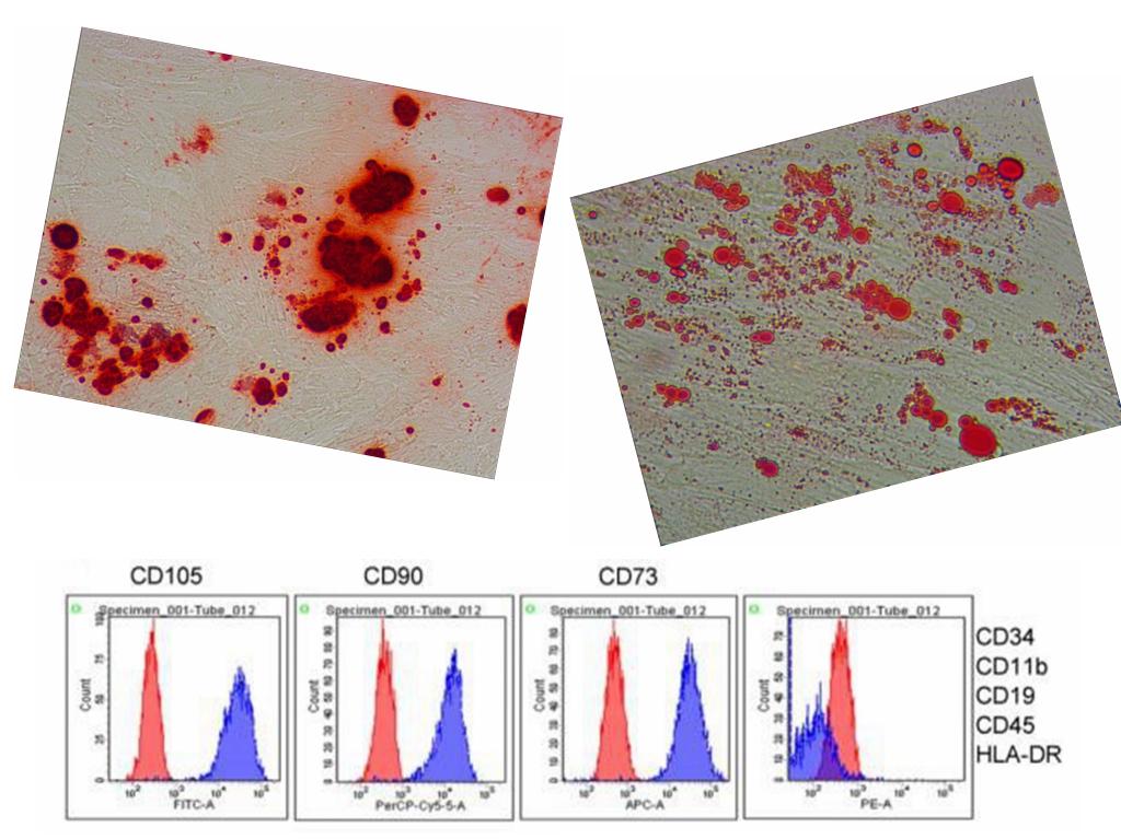 间充质干细胞的原代分离、培养与鉴定