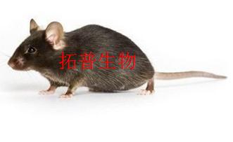 痛经大鼠模型