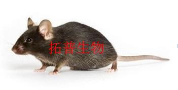 急性痛风性关节炎大鼠模型