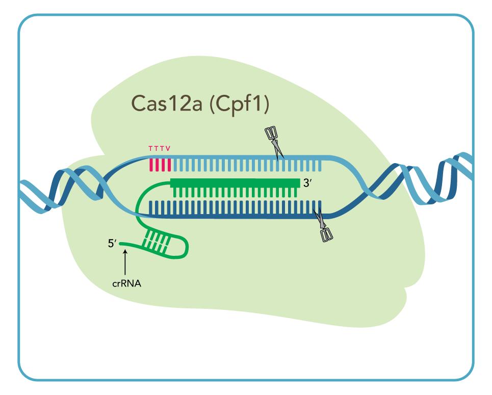 Cas12a(Cpf1) crRNA
