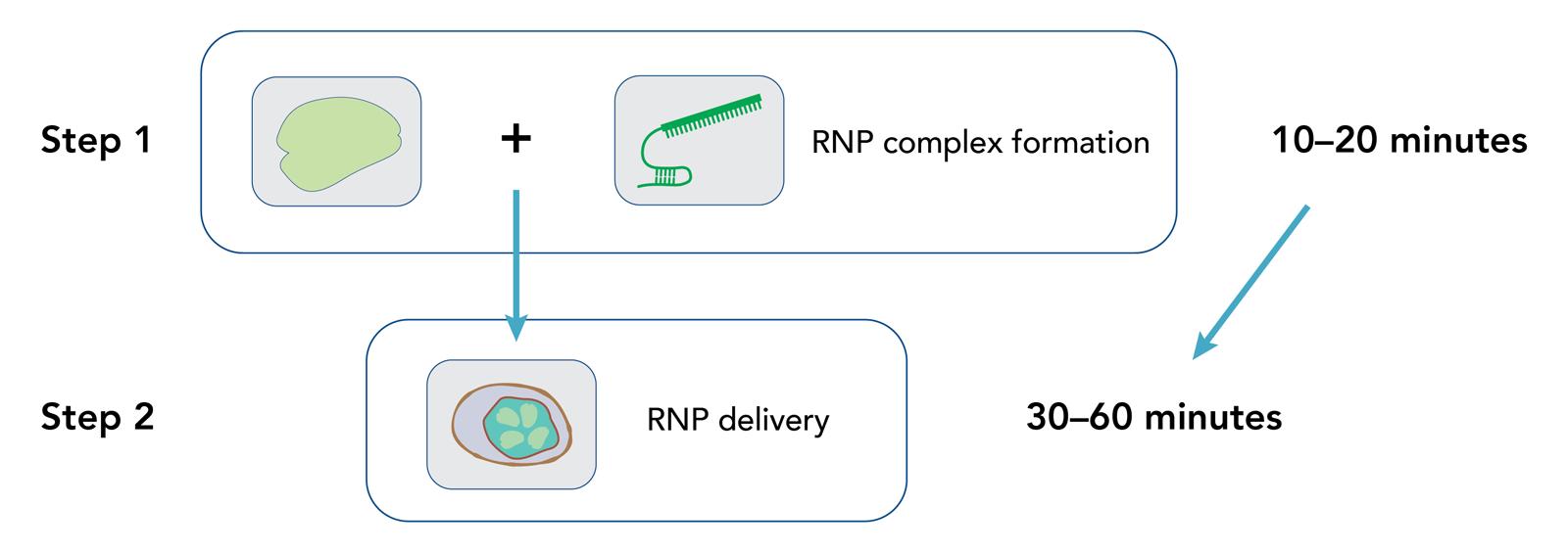 Cas12a(Cpf1) Nuclease
