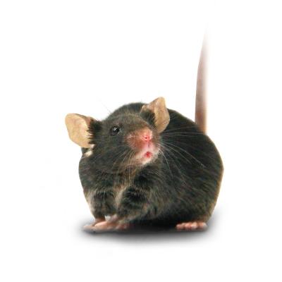 大小鼠繁殖服务