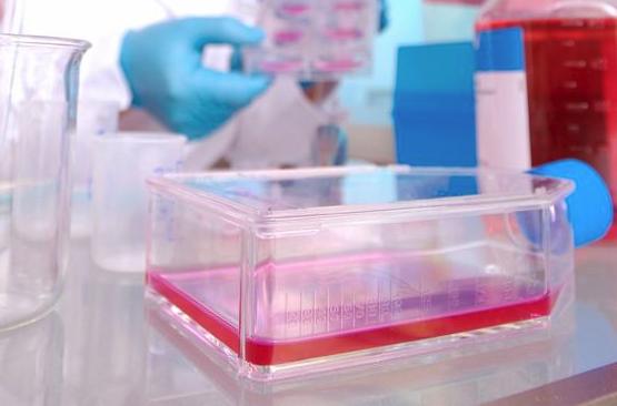 小鼠肠微血管内皮细胞/免疫荧光鉴定