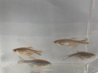 斑马鱼基因敲入突变体建立