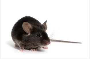 HBV 小鼠模型