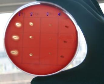 发根土壤杆菌(发根植物单胞菌)