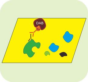 免疫組化(IHC)