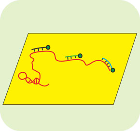 RNA熒光原位雜交(RNA-FISH)