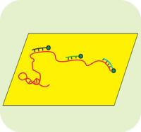 RNA荧光原位杂交(RNA-FISH)
