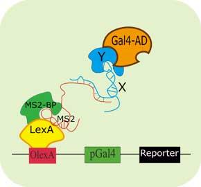 酵母三杂交技术(Y3H)