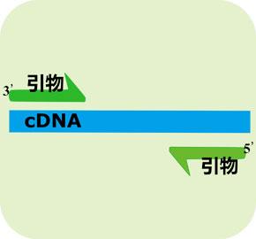 cDNA末端快速扩增技术(RACE)