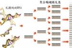 PCR-聚合酶链式反应