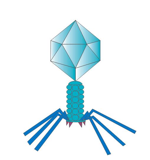 噬菌体展示技术