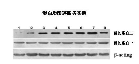 Western Blot技术服务,WB免疫印迹实验检测