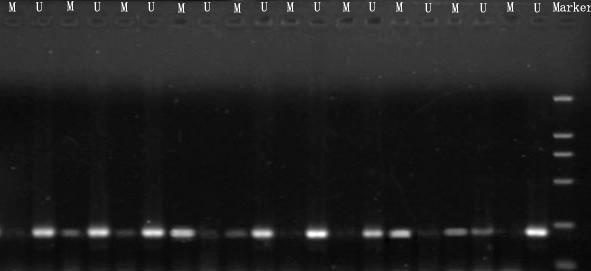 甲基化检测/甲基化分析/DNA甲基化检测/甲基化检测BSP/MSP法