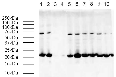 Western blot/WB/免疫印迹/蛋白质印迹