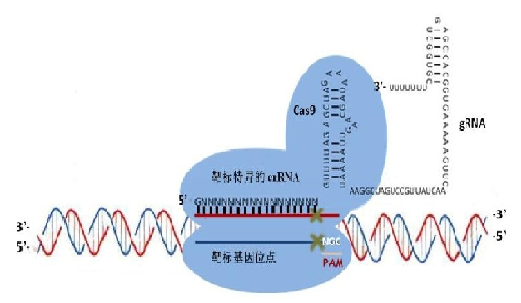 CRISPR/Cas9 基因敲除服务