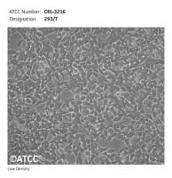 293T 细胞