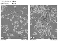 MCF7 细胞