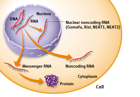 lncRNA芯片