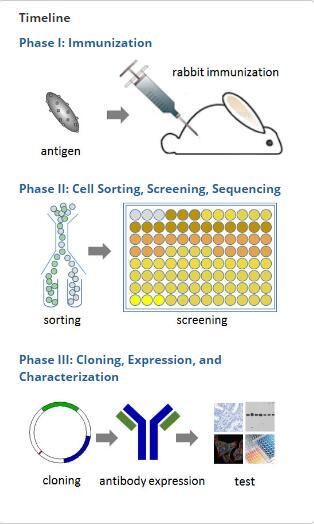 兔单克隆抗体定制