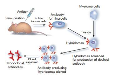 鼠单克隆抗体制备