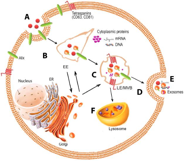 外泌体lncRNA测序