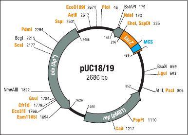pUC19载体,大肠系列质粒
