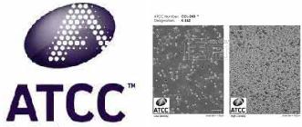 HSC-3人口腔鳞癌细胞