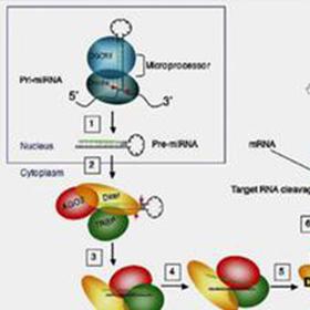 分子生物学:RNAi基因干扰(SiRNA)实验技术服务