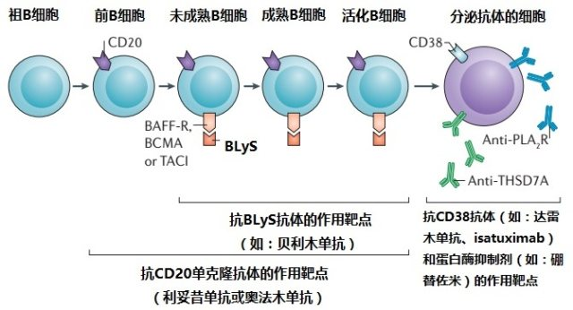 Targets for monoclonal antibodies in B-cell lineages B 细胞族谱上的抗克隆抗体作用靶点.jpg
