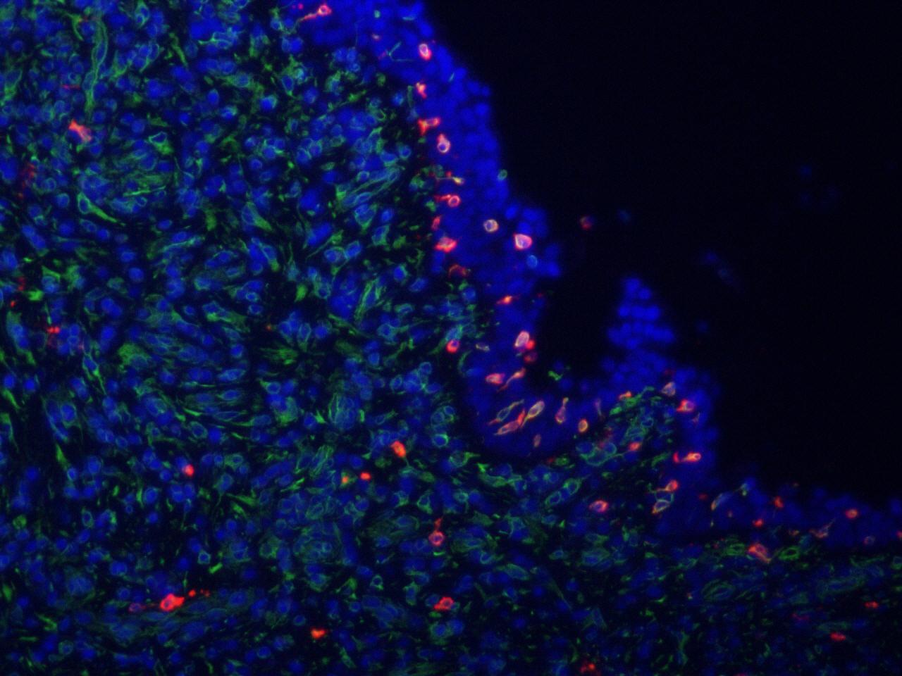 免疫荧光(单标)