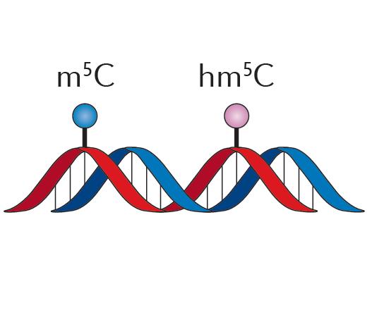抗体富集全基因组甲基化测序(MeDIP/hMeDIP)