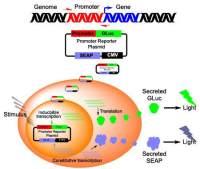 双荧光素酶报告基因检测