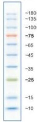 预染彩虹蛋白Marker(10-180kDa)