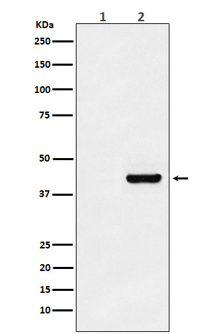 Myc-Tag Mouse Monoclonal Antibody