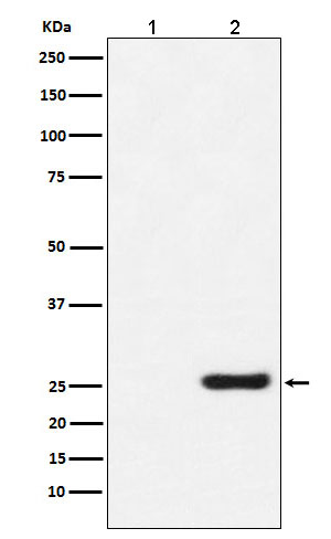 GST-Tag Mouse Monoclonal Antibody