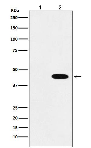 Flag-Tag Mouse Monoclonal Antibody