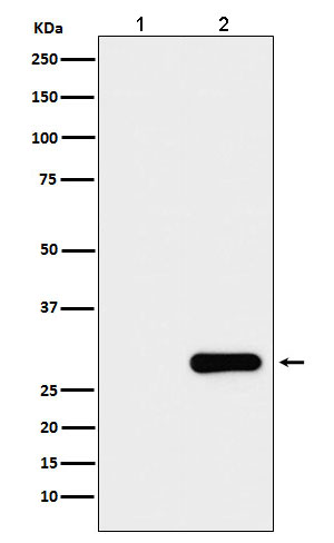 GFP-Tag Mouse Monoclonal Antibody